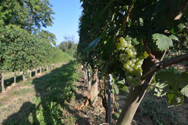 vitigno-arneis